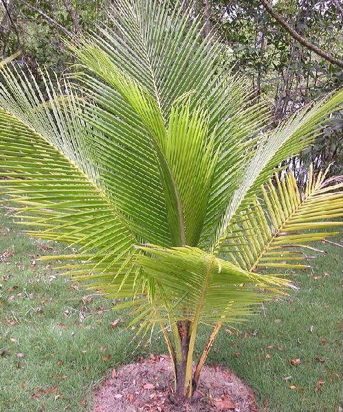 Dwarfs Coconut Plant's