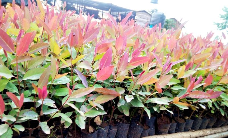 Eucalyptus Plant's
