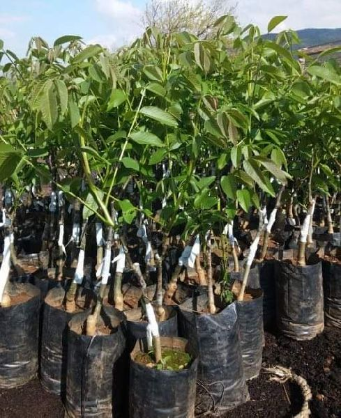 Juglans Regia [Akhrot] Plants