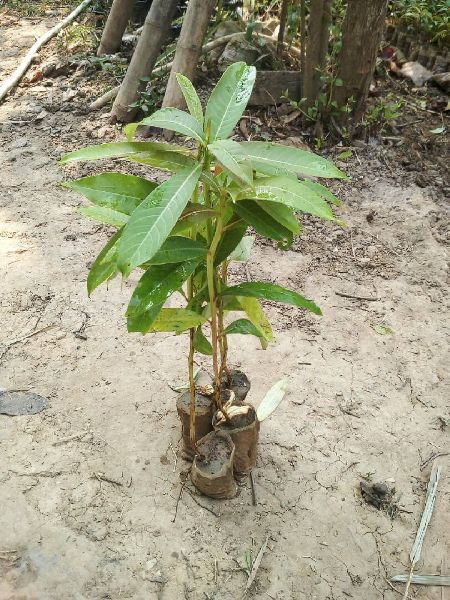 Khokan Plants