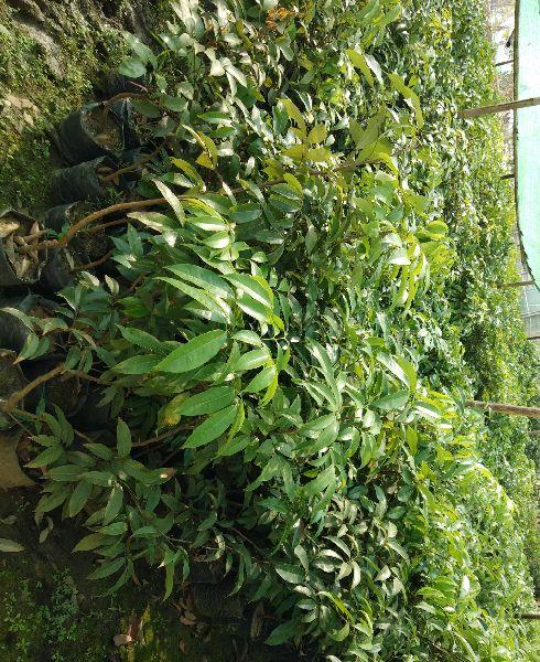 Litchi Emperor Plant
