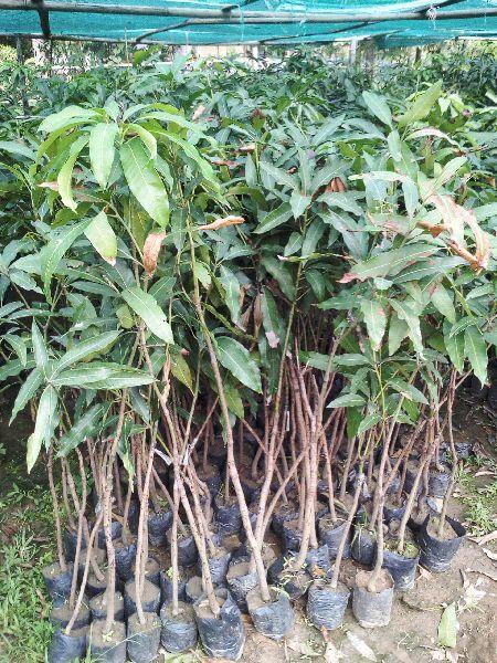 Mango Amrapali Grafted Plant's