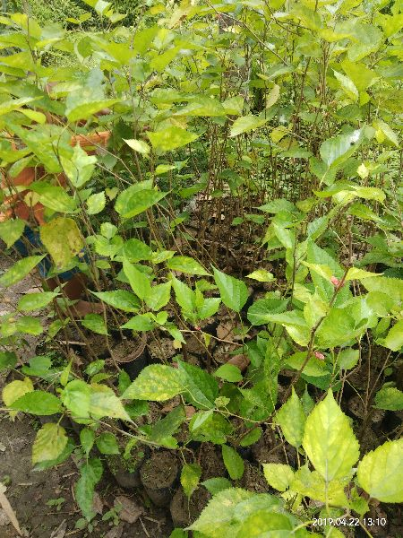 Mulberry Plants