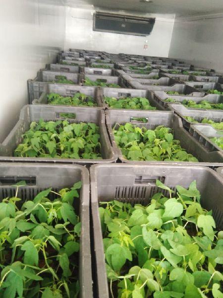 Red Leady Papaya Plant's