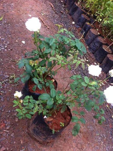 Rose White Plant