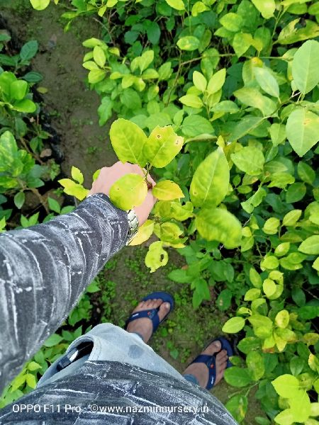 Round Lemon Cutting Plant's