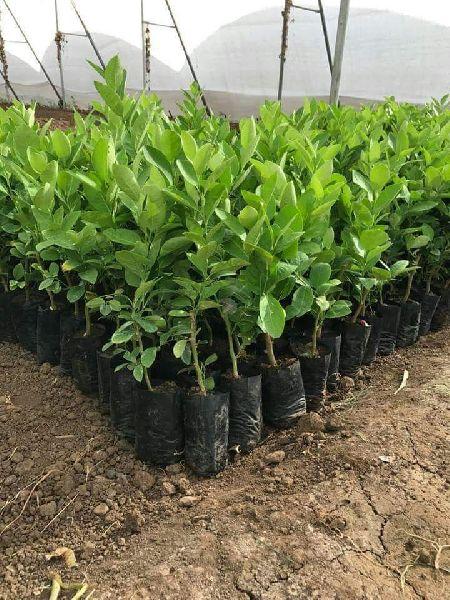 Seedless Lemon Plant's