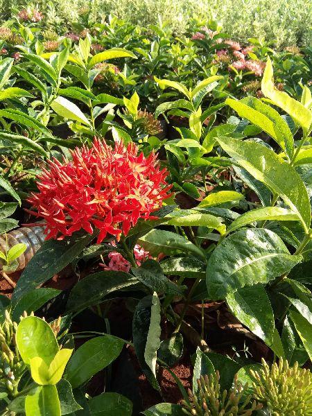 Singapore Ixora Plant