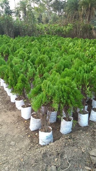 Tuja Pine Plants