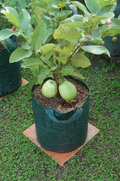 VNR Guava Plant's