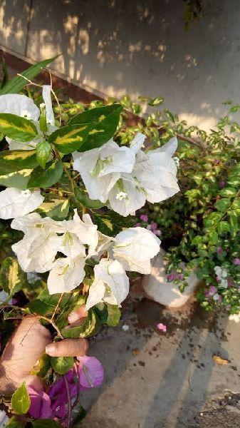 White Bougainvillea Plant