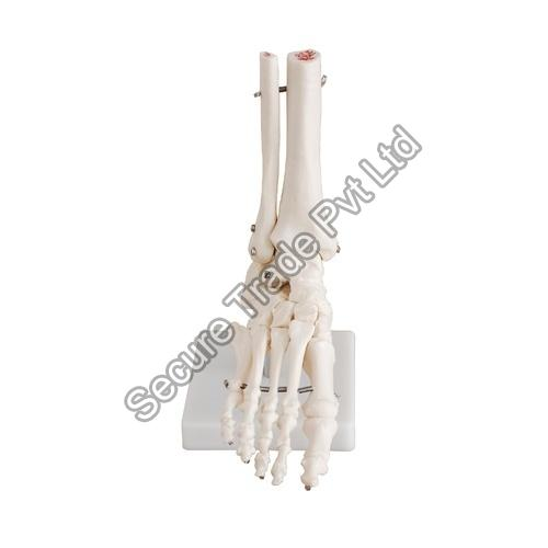 Life Size Foot Joint Model