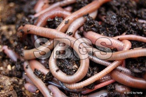 Live Earthworm