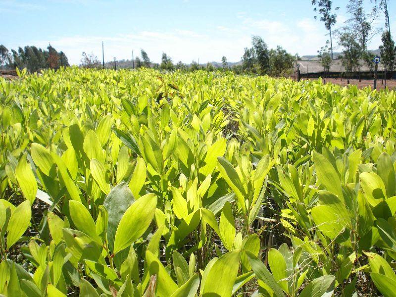 Acacia Aulacocarpa Plant