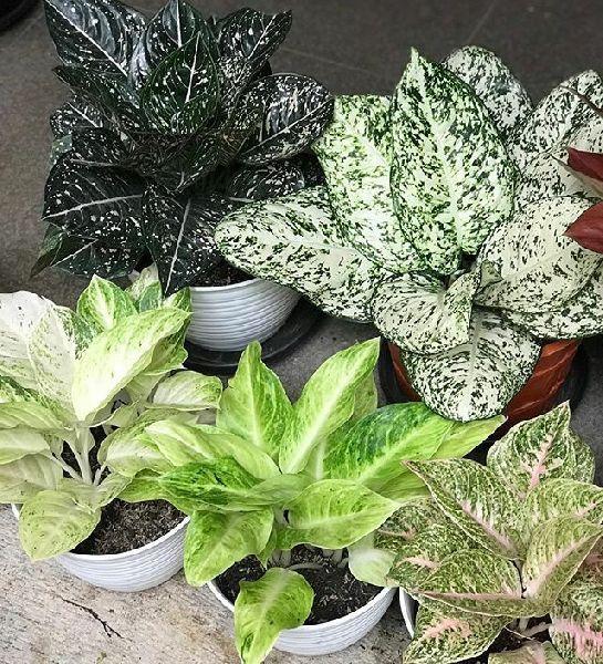 Aglonema Plants