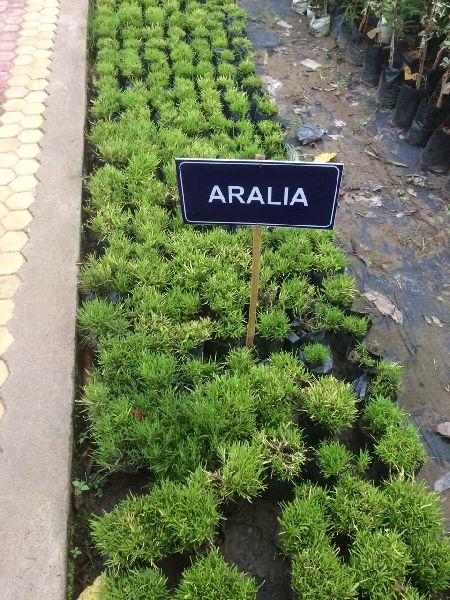 Aralia Plant's