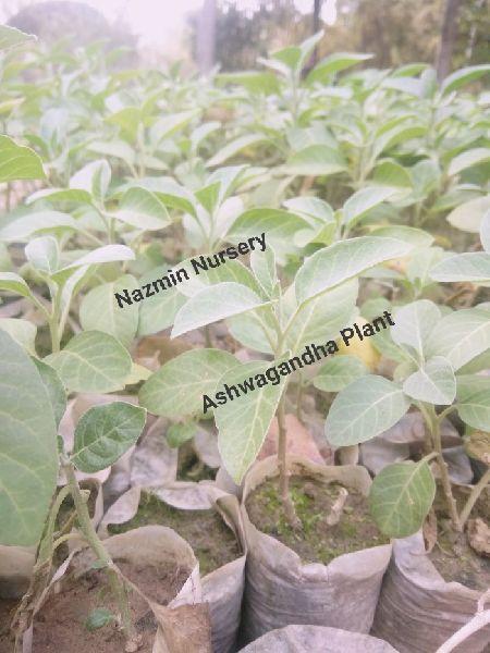 Ashwagandha Plants