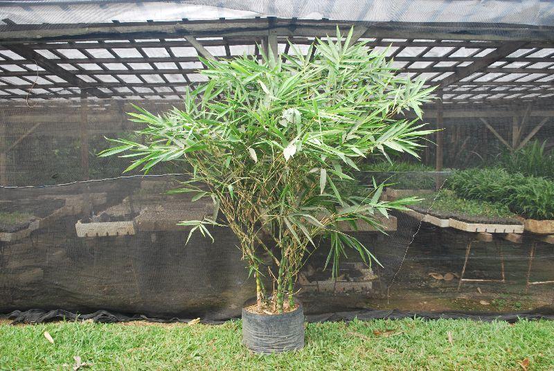 Bambusa Ventricosa  Plant's