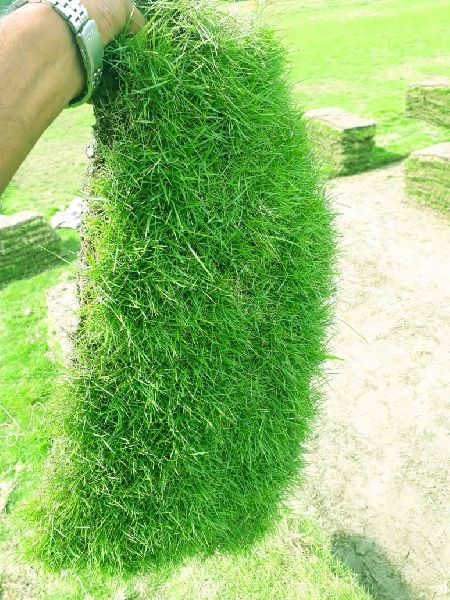 Barmuda Carpet Grass