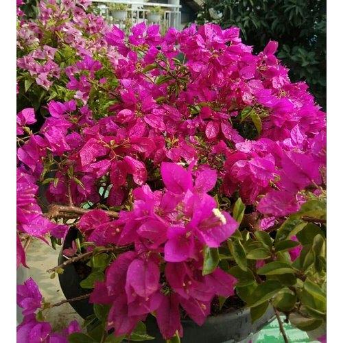 Bengal Plants