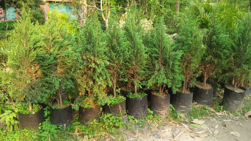 Chinese Juniper Plants
