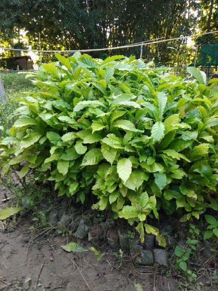 Coffee Arabica Plant's