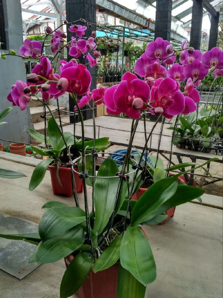 Dendrobium Red Bull Orchids Plant's