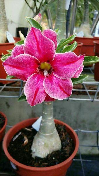 Desert Rose Plant's