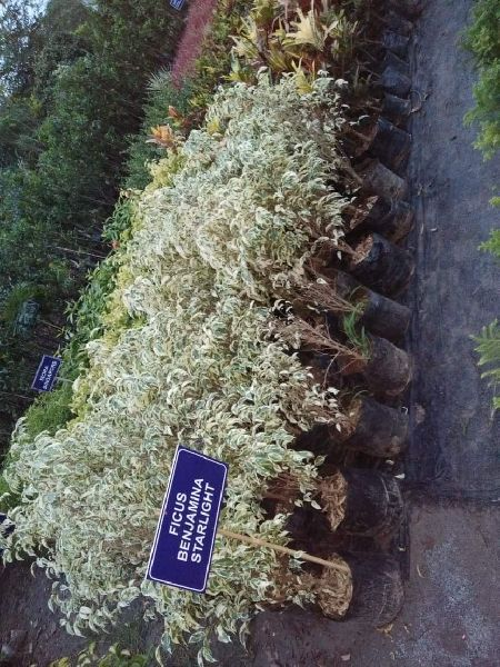 Ficus Benjamina Starlight Plant's