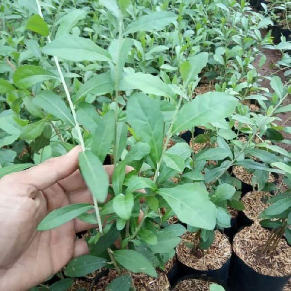 Henna Plants