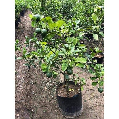 Hybrid Mosambi Plant