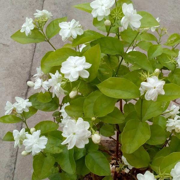 Jasminum sambac Plant's