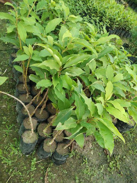 Magnolia Champaca Plants