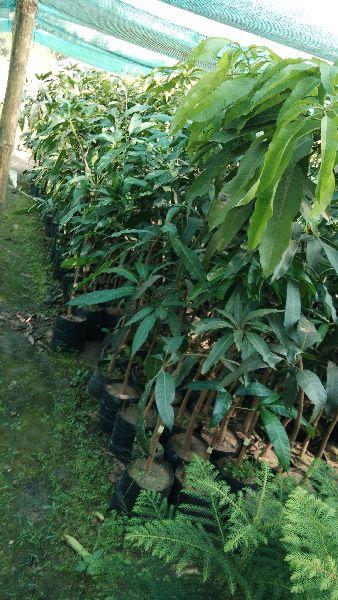 Mango Amrapali Plant