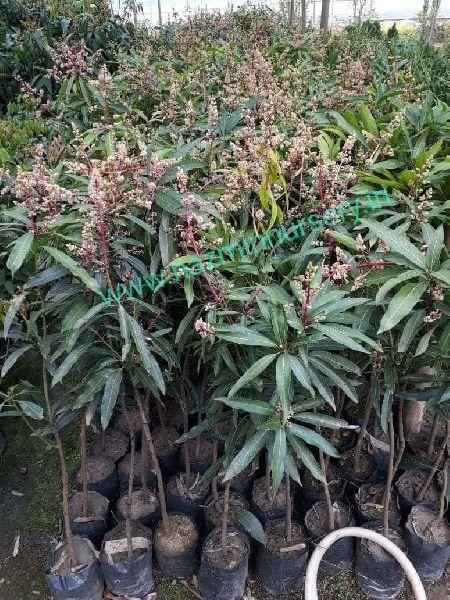 Mango Lengra Grafted Plant