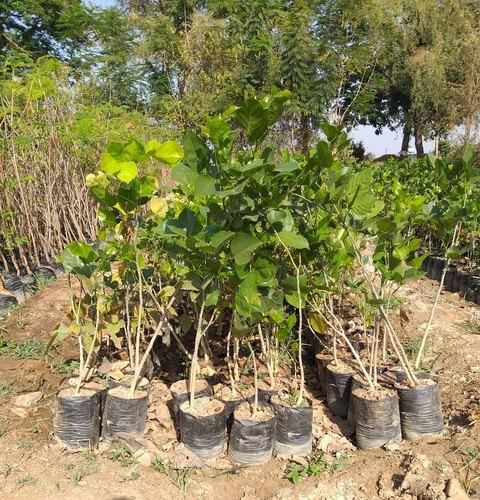 Millettia Pinnata Plant