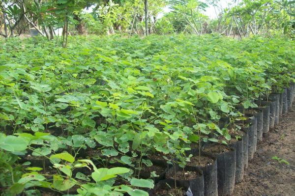 Rain Tree Plants
