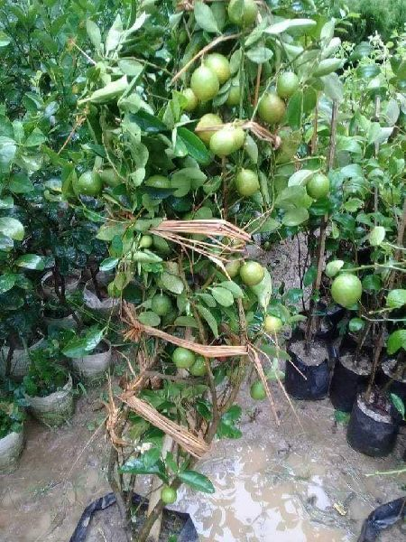 Seedless Round Lemon Plants