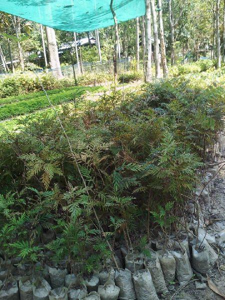 Silver Oak Plants