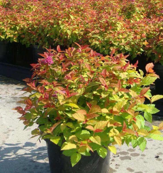 Spiraea Japanica Plant
