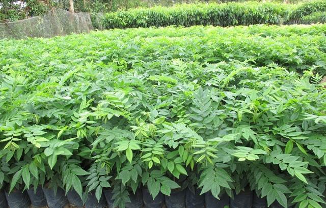 Thavasi keerai Plants