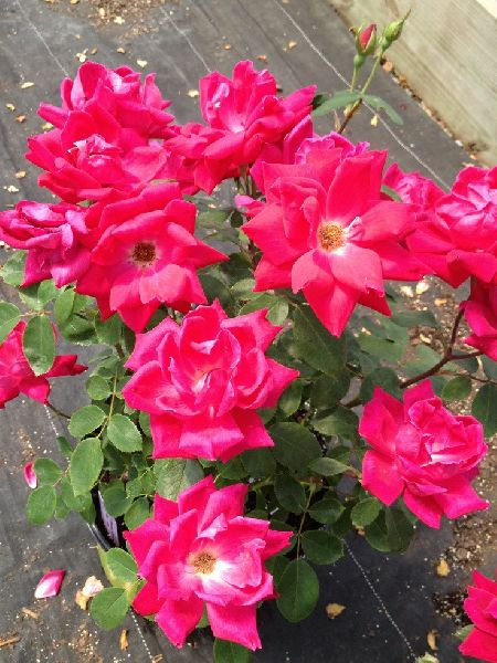 Thornless Roses