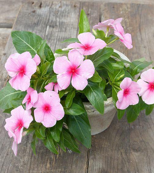 Vinca Plant's