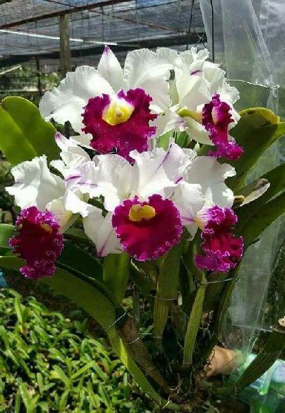 White Cattaleya hybrid Plants