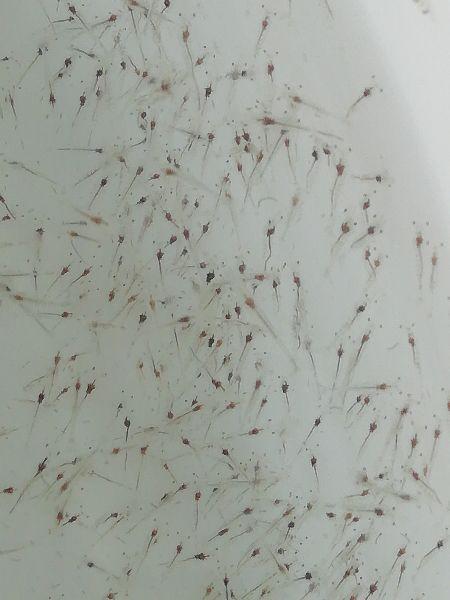 Vannamei Prawn Seeds