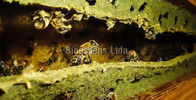 Bee producing propolis