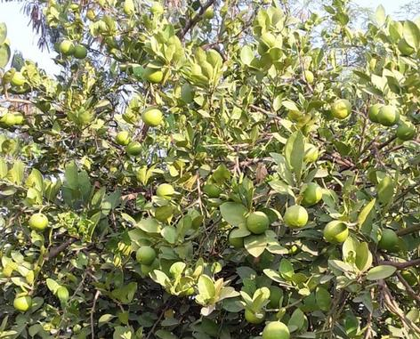 Tissue Culture Lemon Plants