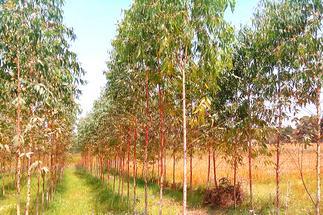 African Mahogany Plants