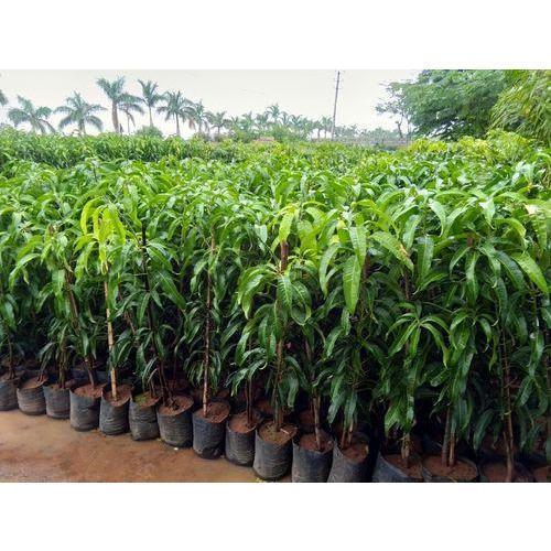 Tissue Culture Mango Plants