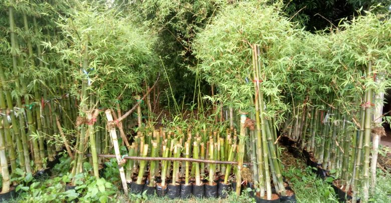 Brandisii Bamboo Plant